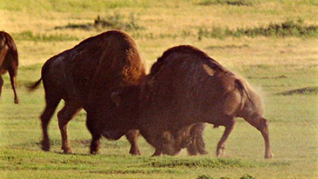 Battling bison