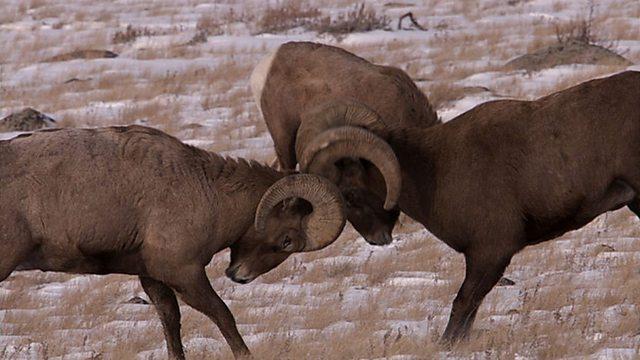 Bighorn battles