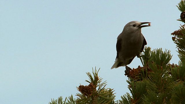 Pine nut stash