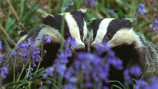 Badgers and bluebells