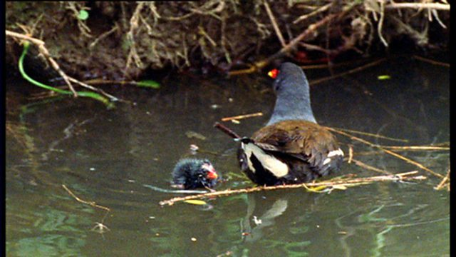 Missing moorhen