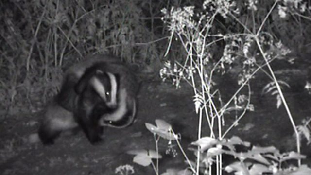 Badger antics