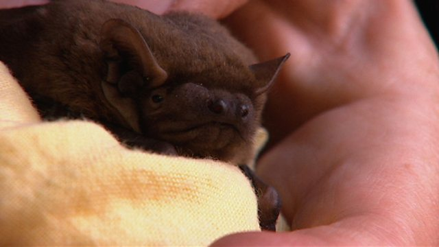 Britain's largest bat