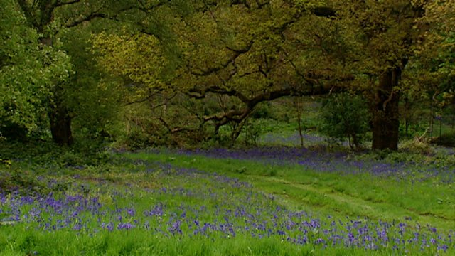 Bluebell legends
