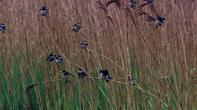 Reed bed birds