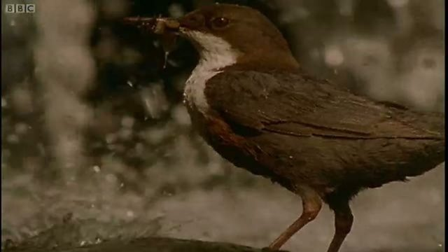 Graceful dippers