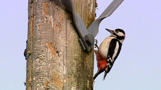 Alien woodpeckers