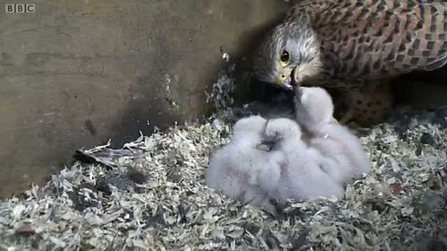 Hatching kestrels