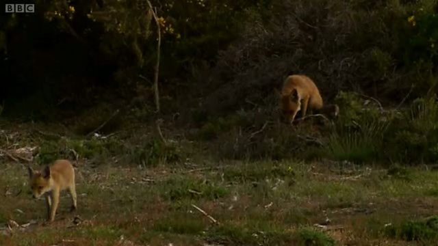 Frolicking fox cubs