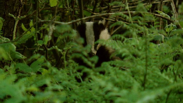 Wetland badgers