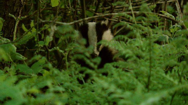 Wetland badgers