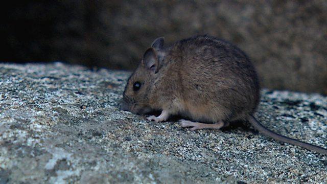 Viking mouse
