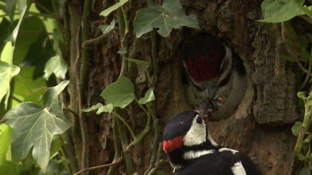 Fledging woodpeckers