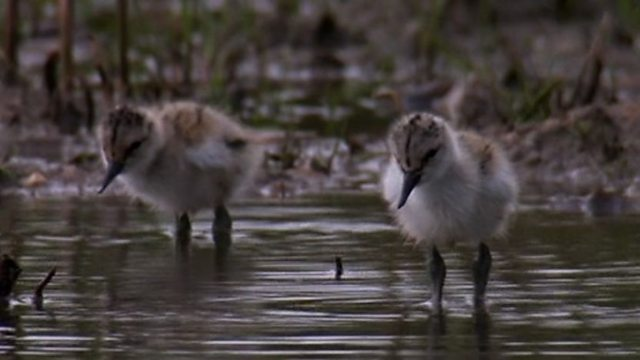 Independent avocet chicks