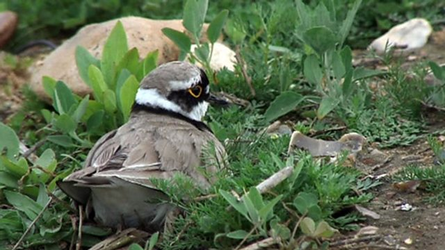 Plover bother