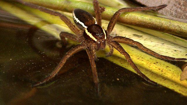 Aquatic spider