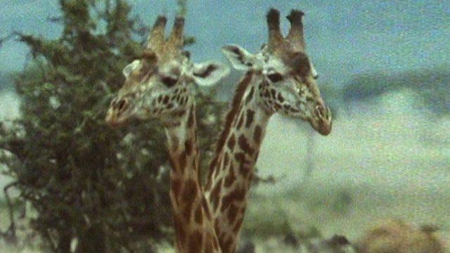 Giraffe joust