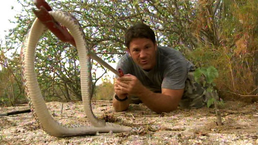 Steve Backshall handling a red diamond rattlesnake