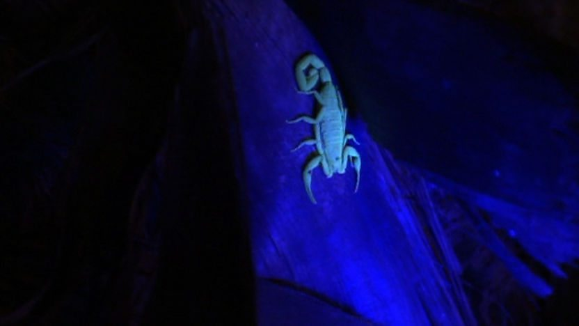 Scorpion at night in the wild