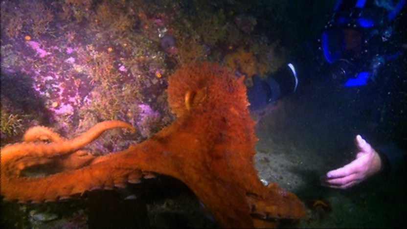Steve Backshall underwater with a giant Pacific octopus