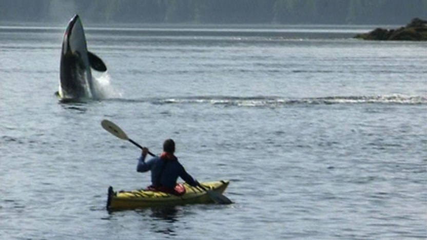 Steve Backshall kayaking and looking at an orca leaping out of the water