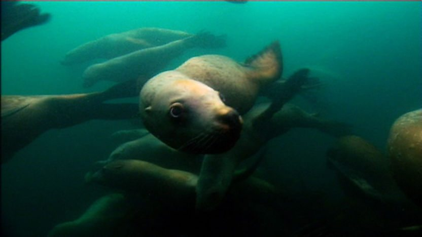 A sealion swimming through kelp