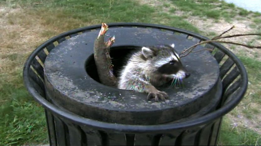 A raccoon stuck in a bin