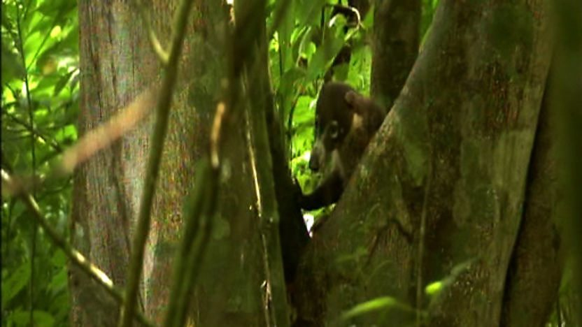 A coati in the jungle