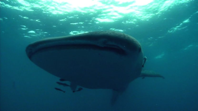 Whale shark swimmimg in the sea