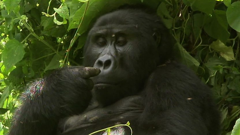 A gorilla looking at its finger