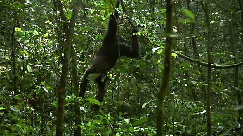 A chimpanzee climbing down from a tree
