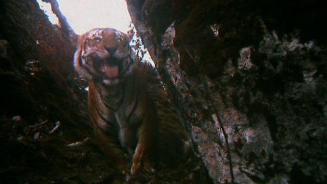Tiger paradise?