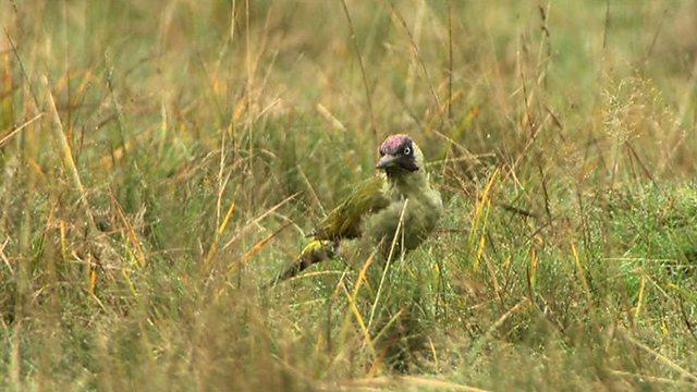 Green anteater