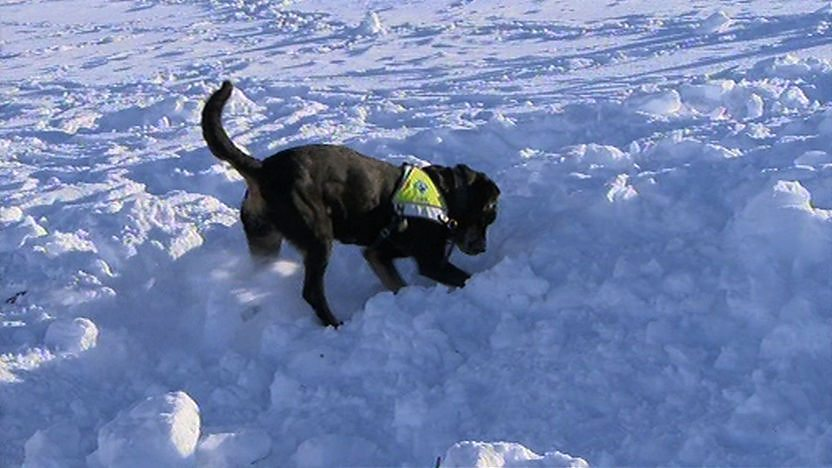 A resuce dog digging in the snow to rescue Steve Backshall