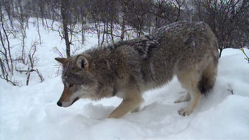 Wolf in the snow of Romania