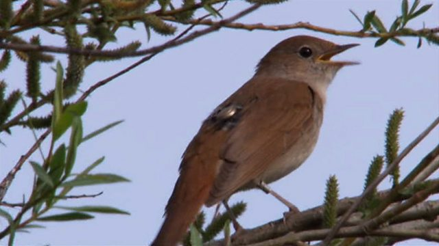 Declining nightingales