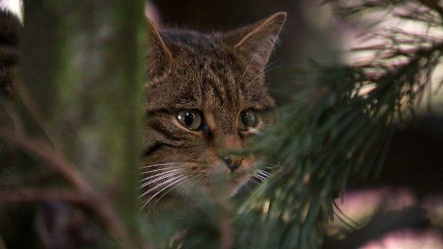 Wildcat challenge