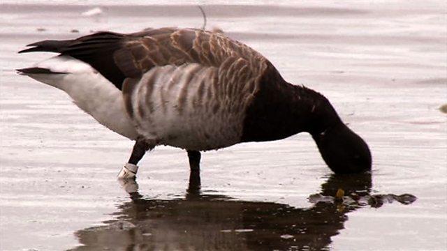 Gobbling geese