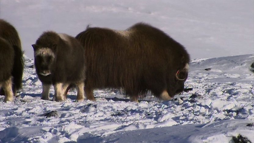 Musk oxen in Norway