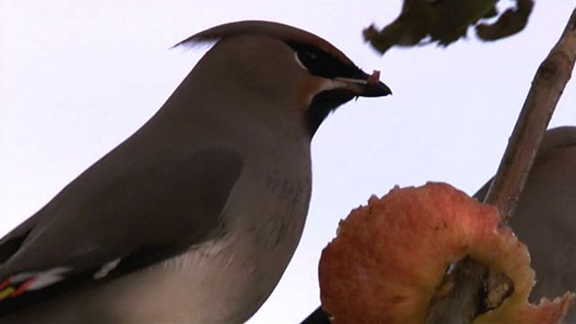 Waxwing migration