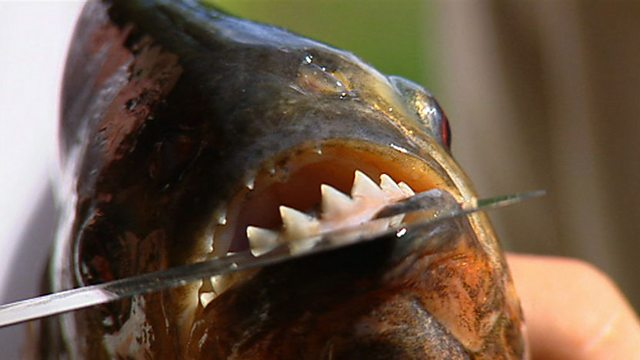 Facts About Red Bellied Piranhas Red Bellied Piranha Facts hd