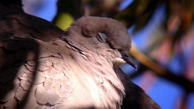 Collared dove colonisation