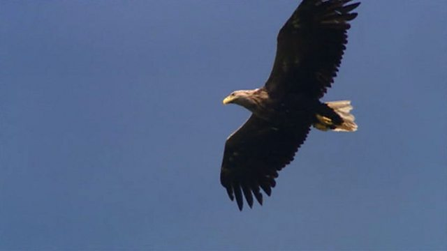 Mull's sea eagles