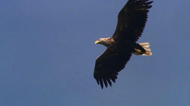 Mull's sea eagles