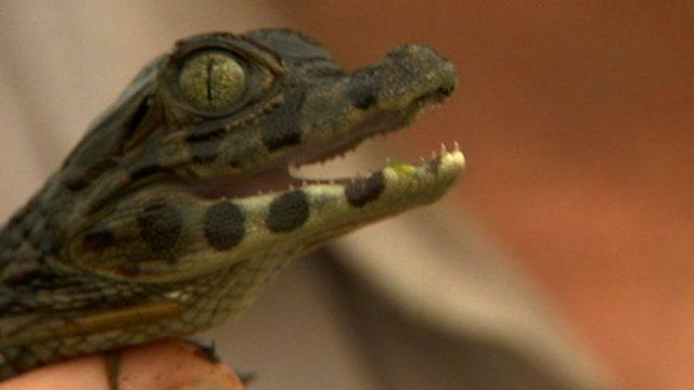 Miniature croc