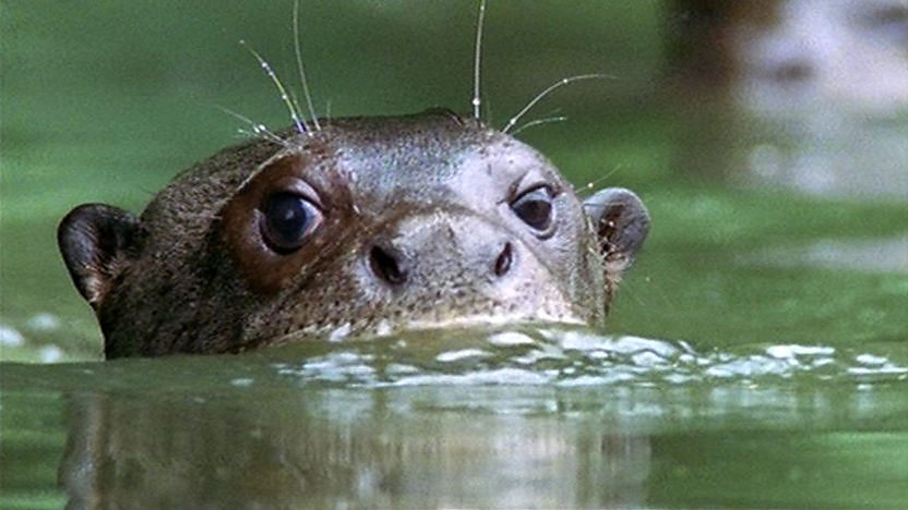 Giant otter with its head poking above a river