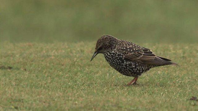 Winter starling visitors