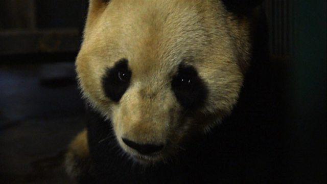 Panda positions