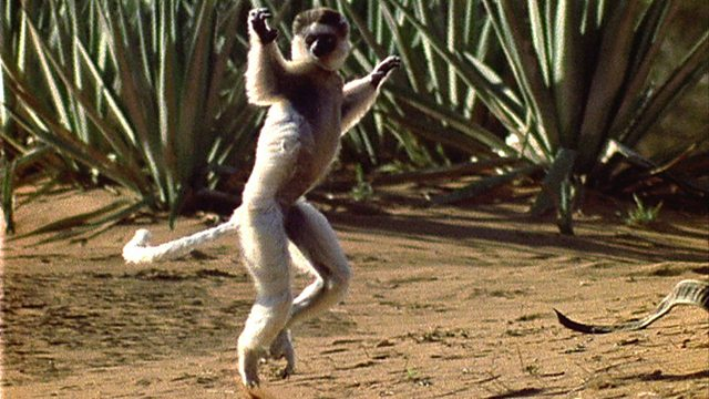 Lemur locomotion