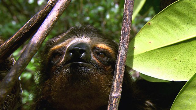 Pygmy sloth discovery